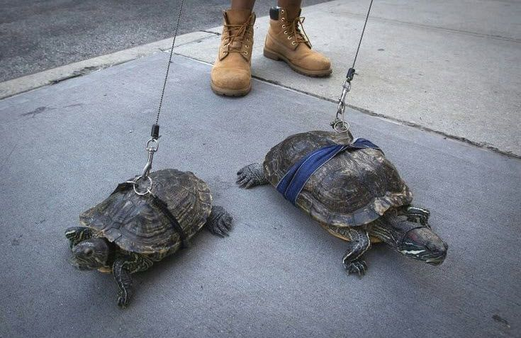 DIY Turtle Leash - so you can safely walk your turtles! #DIY - PetDIYs.com