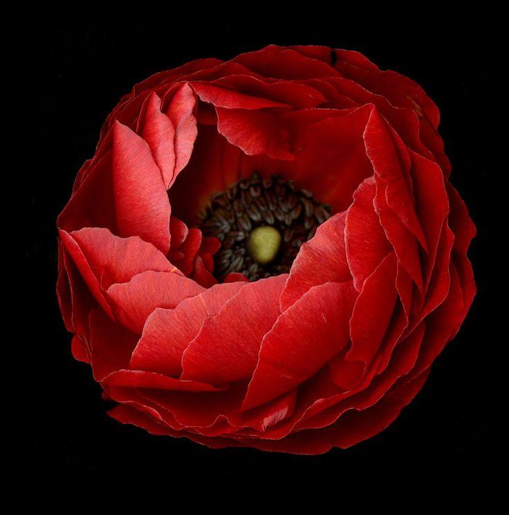 Red Anemone by Katinka Matson