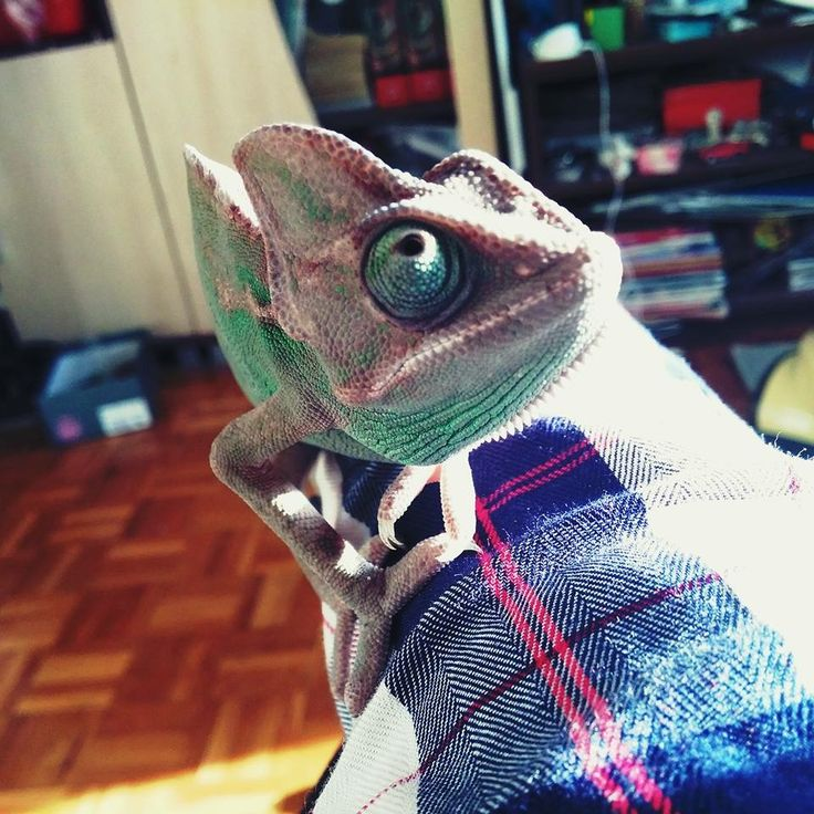 My babygirl, Karma the Chameleon