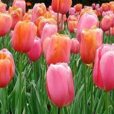 Tulips are one of the easiest flowers to grow successfully in the garden - planting tulips, when to plant tulips, planting bulbs