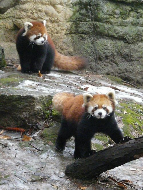 Two tone pandas. Reminds me of a two tone 1960 Oldsmobile. Red Panda Pair (by Mark Dumont)