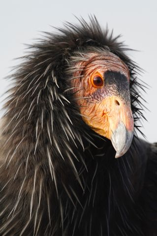WE STILL NEED TO SAVE THE CALIFORNIA CONDOR : No one hunts the California Condor, one of the largest flying birds in the world. But the endangered bird has a problem only hunters can solve.
