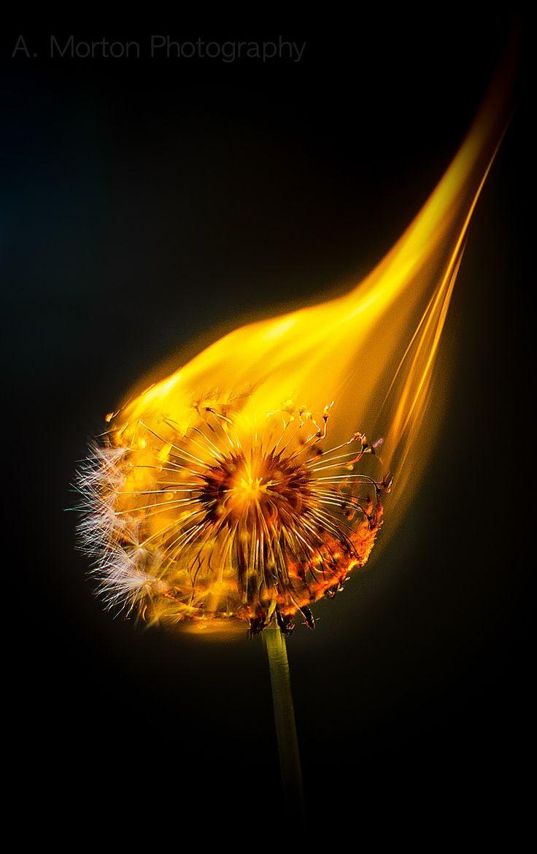 My burning dandelion shot.