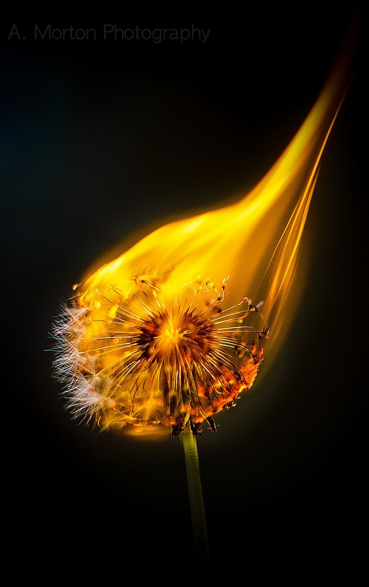 My burning dandelion shot.