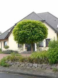 Trompetenbaum-Catalpa