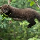 Fisher, Martes pennanti, aka fisher cat, in the weasel family
