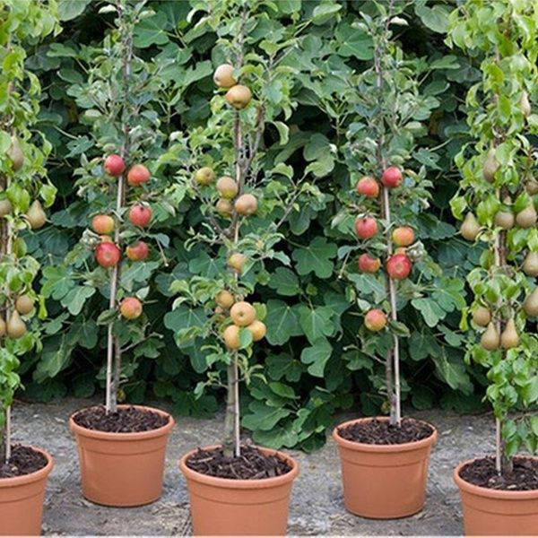 3 6 Or 12 Columnar Bare Root Fruit Trees Fruit Tree Garden Fruit Garden Fruit Trees In Containers