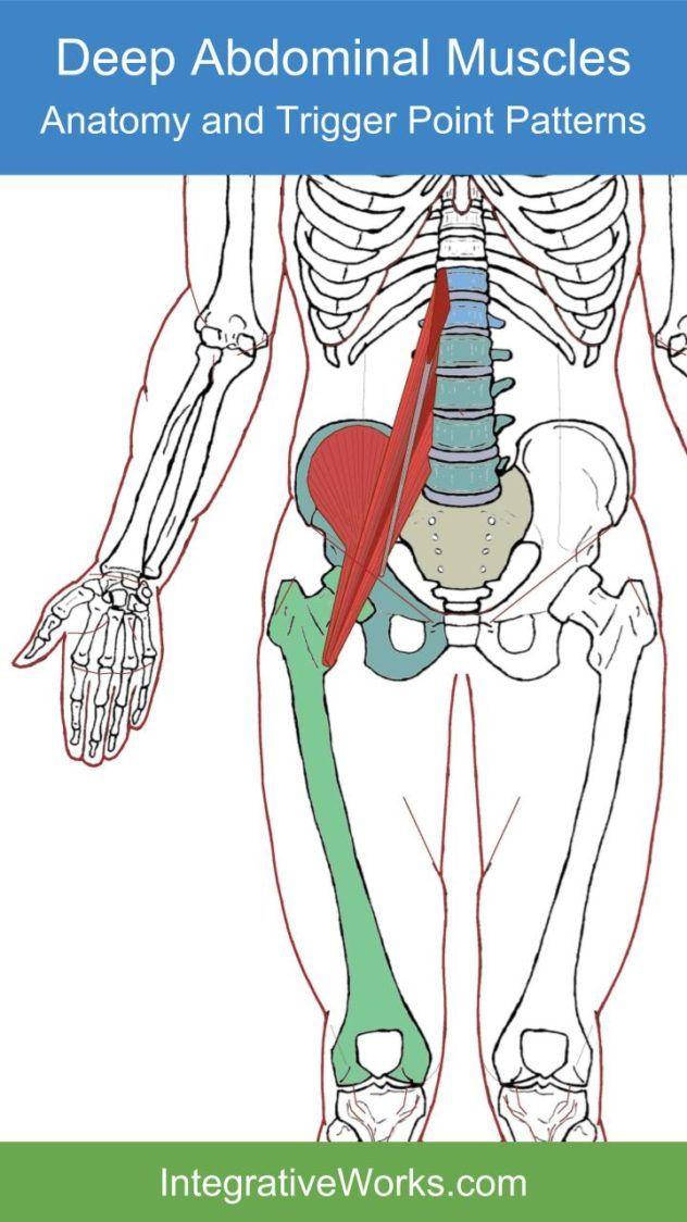 Psoas Minor Functional Anatomy Muscle Anatomy Pinterest