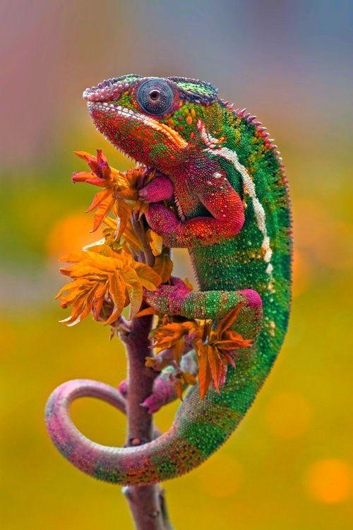 Chameleon in the garden