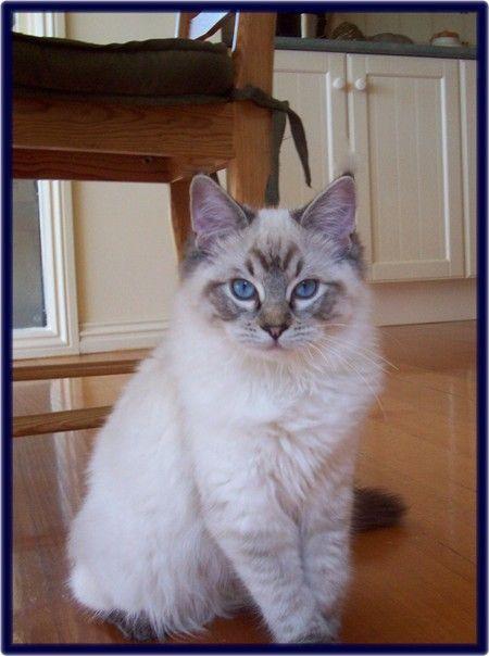 Lynx point ragdoll cat!