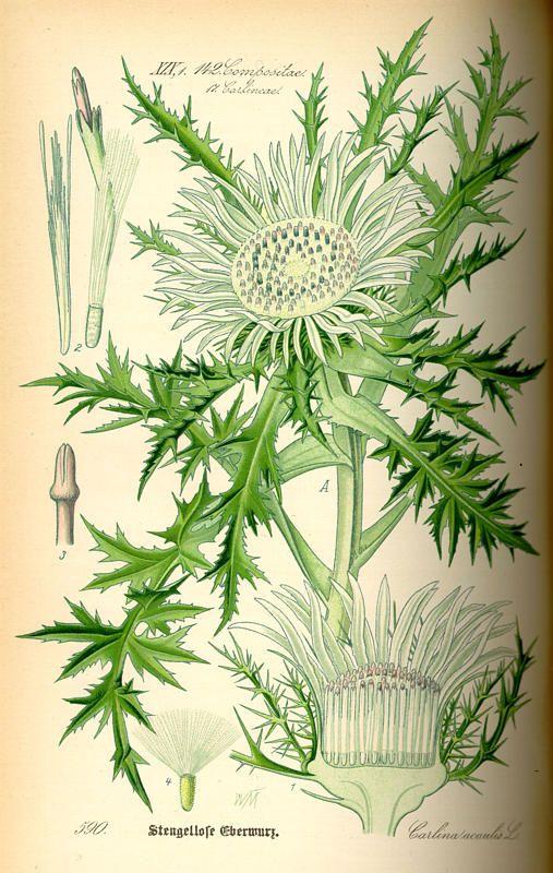 Flora von Deutschland Österreich und der Schweiz (1885) - Carlina acaulis