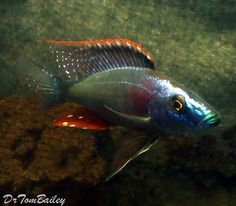 Malawi Eye Biter Hap Cichlid. #malawi #eye #biter #hap #cichlid #fish #petfish #aquarium #aquariums #freshwater #freshwaterfish #featureditem