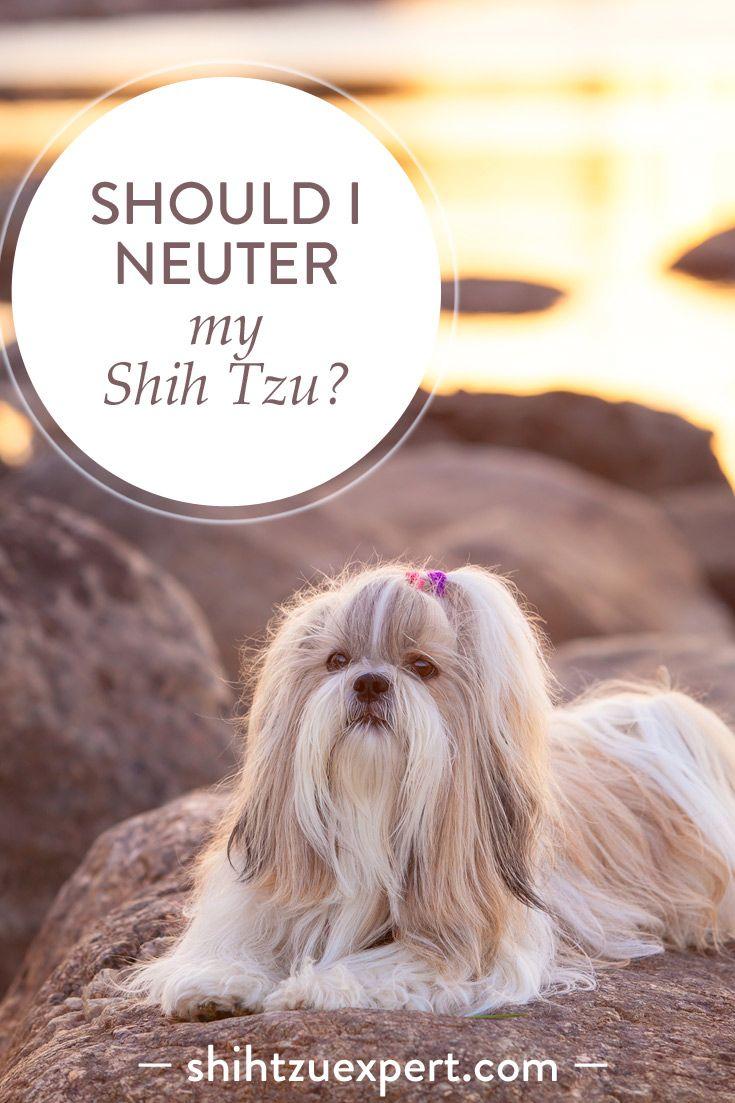 Should I Neuter My Shih Tzu Dangers Risks Advantages Dog Spay Dog Benefits Neutering Dogs