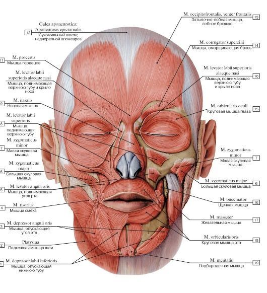 Muscles of the face. Dentaltown - Dental Anatomy and Tooth Morphology