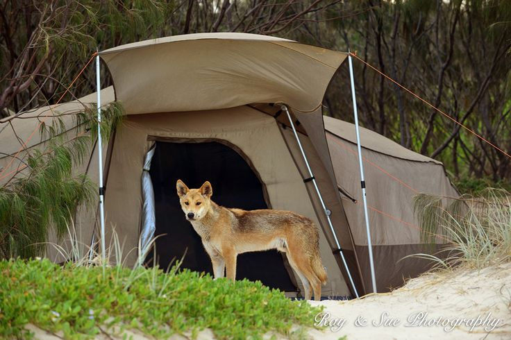 A native, wild dingo near a tent on Fraser Island. Beware.