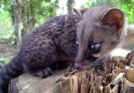 Unique fauna of Indonesia - Kopi Luwak