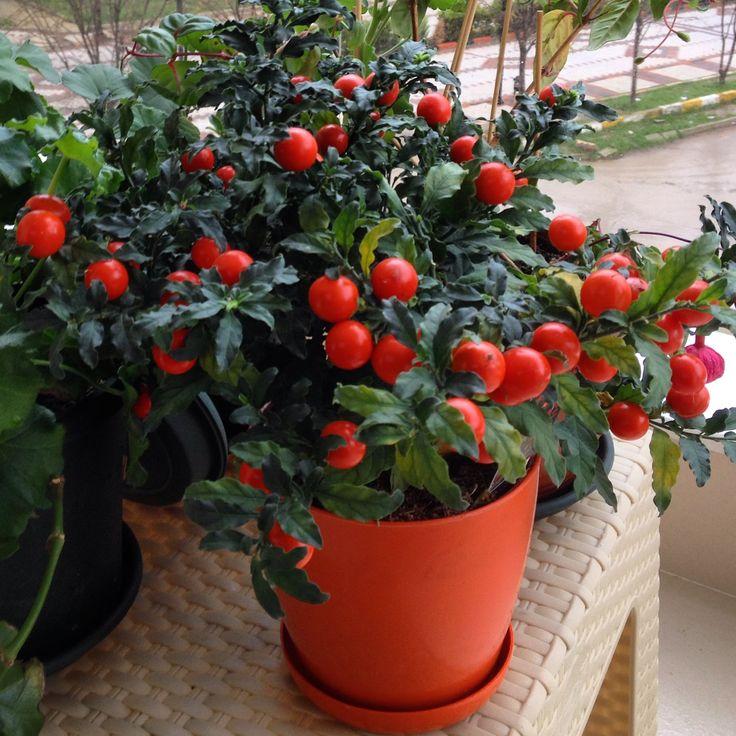 My new flower :) Yeni çiçeğim, çok güzel değil mi :)  Kudüs kirazı (Solanum pseudocapsicum)