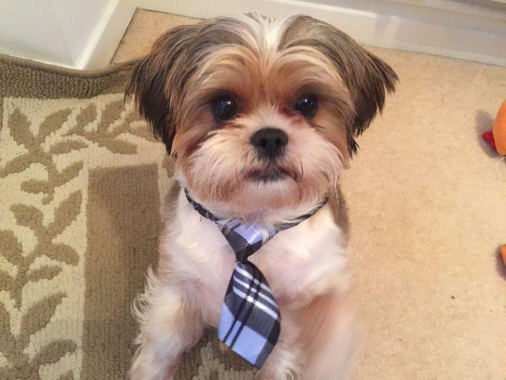 Alfie in his new bow tie
