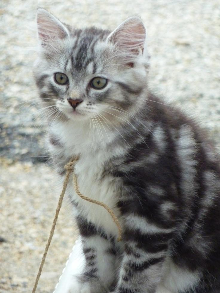 Chat tigré | C... Chats