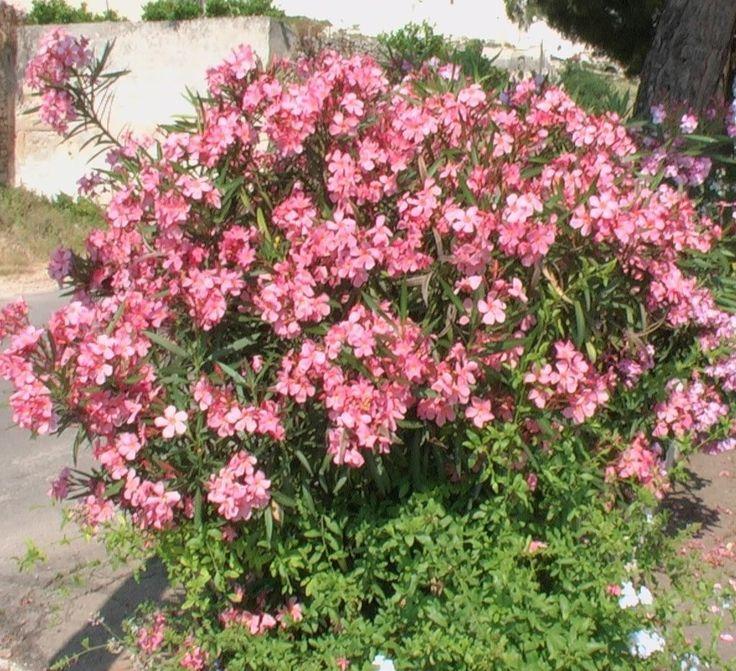 Descubra quais são as 11 plantas mais venenosas do mundo 11. Nerium oleander (oleandro) Todas as partes do belo oleandro possuem diversos tipos de toxina, sendo as duas mais fortes a oleandrina e a neriine, que afetam drasticamente o coração. Na verdade, o veneno da planta é tão forte que é possível morrer apenas comendo …