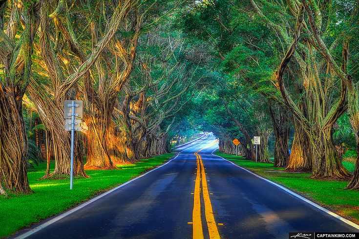 Banyan-Trees-Along-Bridge-Road-at-Hobe-Sound-Florida  (these were so luscious and overgrown and cool leading to a relatively uncrowded beach back in early 80's until a severe freeze hit so. florida in (i think) 1989- destroyed the trees- took many years to regrow
