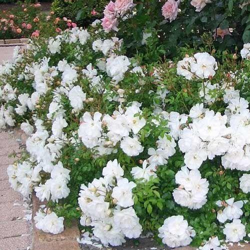 rosier blanc meillandecor truffaut jardin pinterest rosier blanc truffaut et rosier. Black Bedroom Furniture Sets. Home Design Ideas