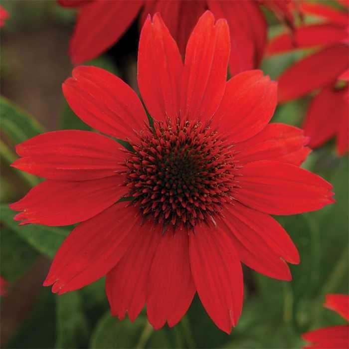 Salsa Red Sombrero Echinacea
