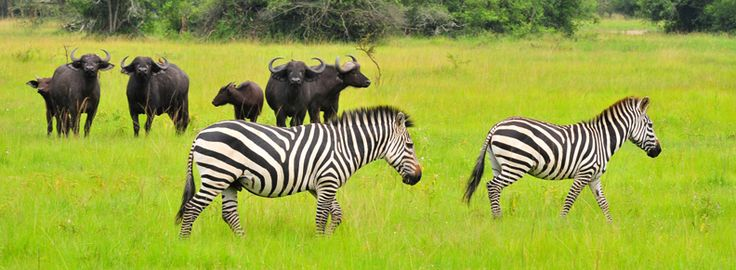 How The Sights Of #UgandaSafaris Make You Plunge In Love With The Great Apes?