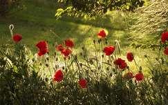 fény vadvirág pipacs tavasz