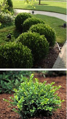 Green Velvet retains the upright, rounded shape you'd expect from a boxwood on it's own, with little to no pruning from you. This evergreen shrub boasts deep green, glossy leaves year round. - Buy 6 1-gallon plants for $28.85 each @ http://www.brighterblooms.com/