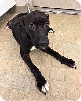 Angola, IN - Labrador Retriever Mix. Meet Misty, a puppy for adoption. http://www.adoptapet.com/pet/18527215-angola-indiana-labrador-retriever-mix