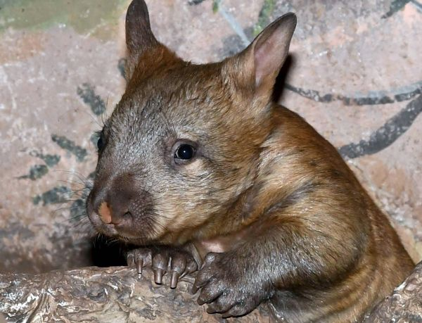 This baby Southern Hairy-nosed Wombat is now out of her mom's pouch at Brookfield Zoo. Learn more about these rare marsupials on ZooBorns.com and at http://www.zooborns.com/zooborns/2017/10/rare-baby-wombat-emerges-from-the-pouch.html