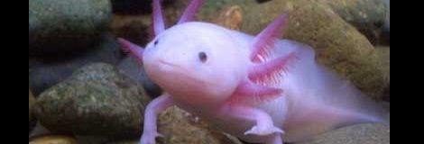 Every time I see an axolotl (and it's not often, mind you) I'm reminded of Julio Cortazar's eponymous story.  Man, what a trippy piece.