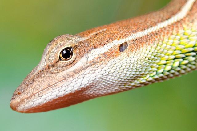 Handheld macro shot of a small lizard (Gecko).  One single exposure. #Photography