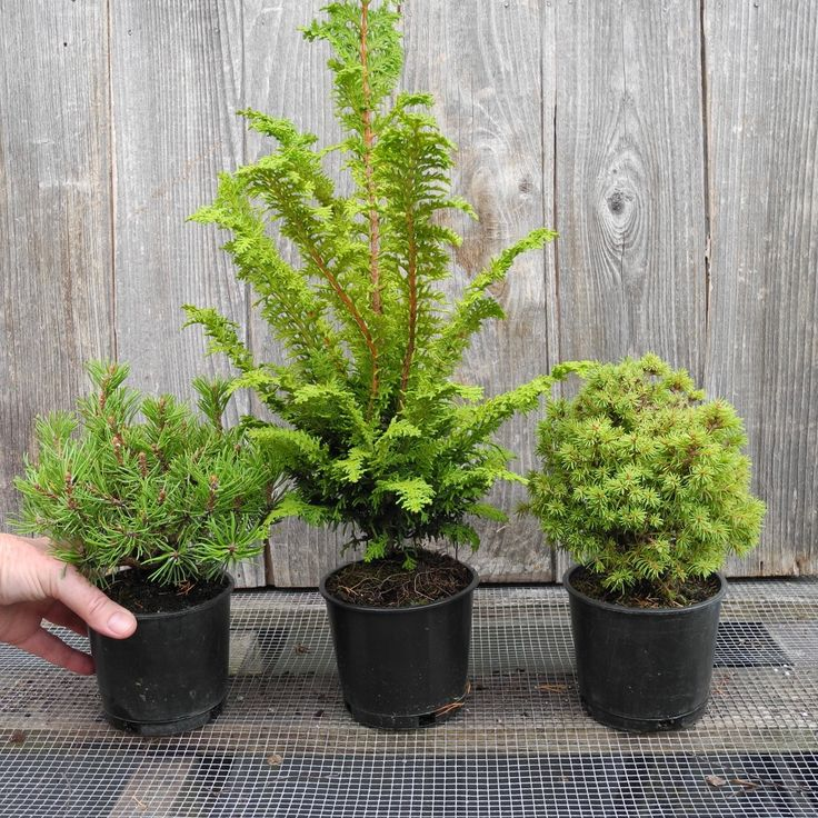 Miniature Garden Tree Set Of 3 For Fairy Garden, Containers Or The Garden  Bed, Bonsai Starts, Mugo Pine, Hinoki Cypress, Spruce, Dwarf Trees By Janu2026