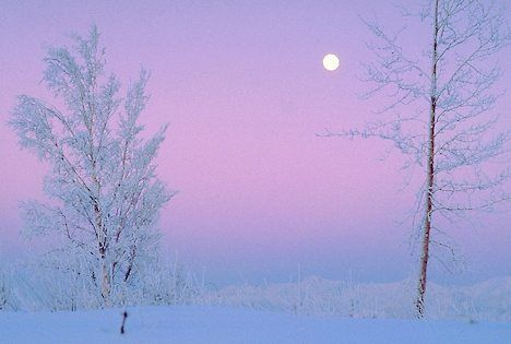 hoarfrost | Alaska. Hoar frost on trees in winter scenic with twilight moon.