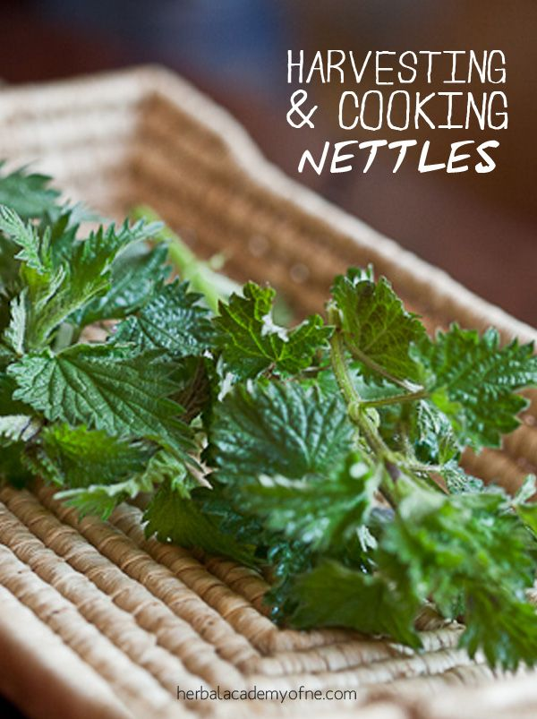 These nutritious, wild edibles are earth-to-table greens that can be steamed up as a replacement for spinach in recipes or made into soups.