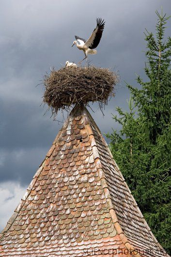 Stork's nest Archita, Romania