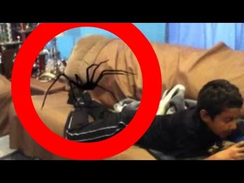 World's BIGGEST SPIDERS ever found & caught on camera ...