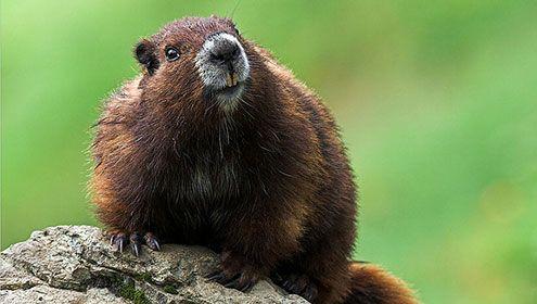 Rare Animals That Need Preservation: Marmot