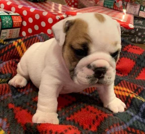 Long John Is A Piebald Male English Bulldog Puppy American Born