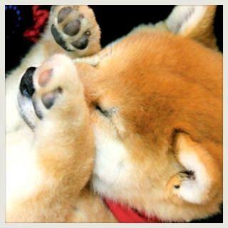 柴犬 shiba inu (320×320)