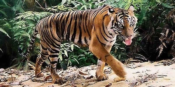 Tell Congress to Protect Tiger Habitats - Forests are being destroyed and degraded at alarming rates — equivalent to 36 football fields every minute.
