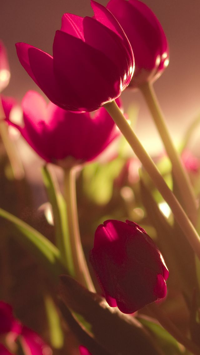 Beautiful Tulips iPhone 5s Wallpaper Fondos de flores
