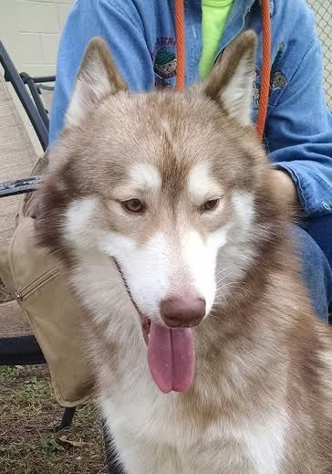 Siberian Husky Rescue of #Florida has many beautiful #Huskies (like Keiko) all available for adoption in Florida only.  Please apply to #adopt here:  http://www.siberrescue.com/doghouseaccept.html #share