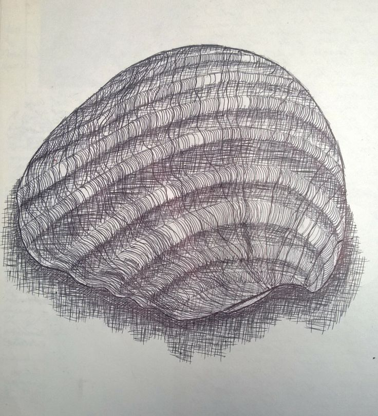Contour Line Drawing Shell : Best images about natural forms on pinterest contour