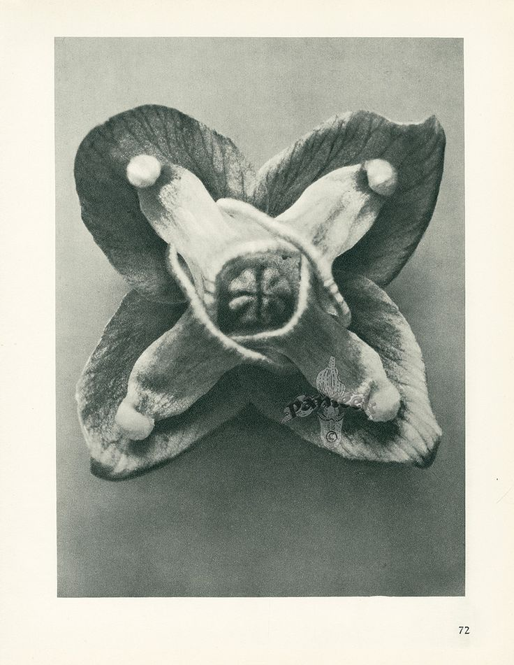 Karl Blossfeldt Photogravures from Urformen der Kunst 1929