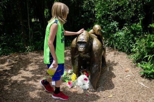 Reabrirán exhibición de gorilas en zoológico de Cincinnati -...