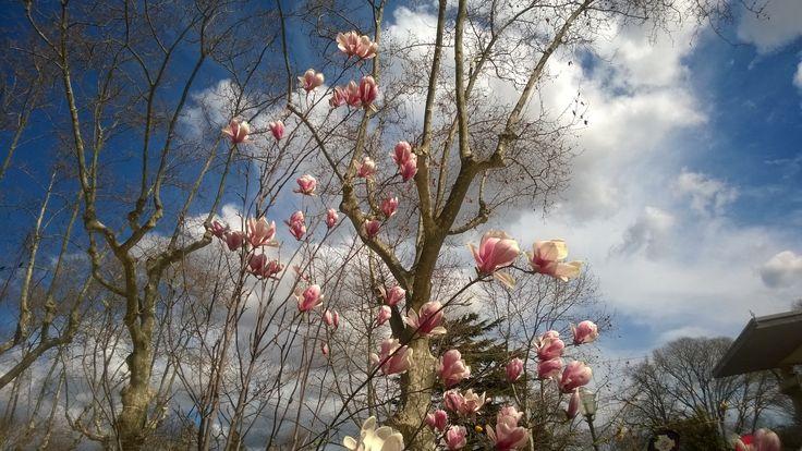 beautiful magnolia trees