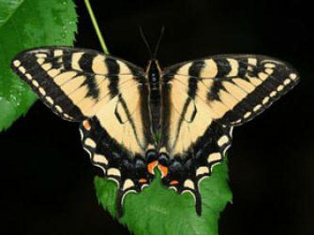 borboleta tigre canadense